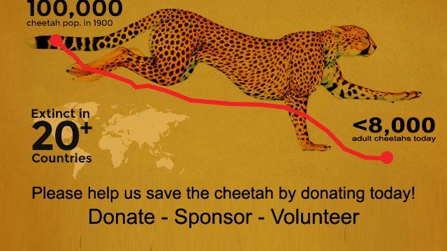 ccf-cheetah-declining-4