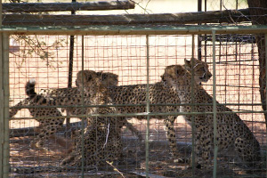 Illegal Cheetah Trade