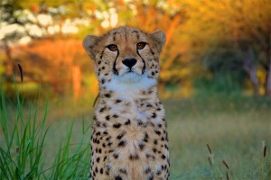 Aurora the Cheetah
