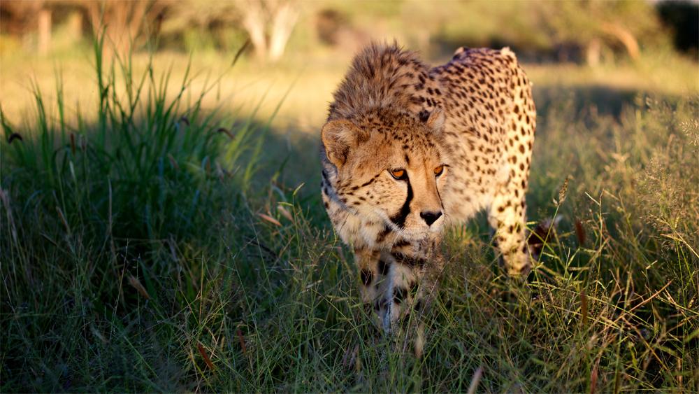 meet cheetahs uk