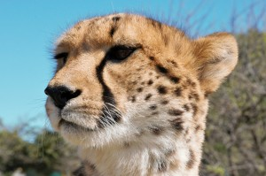 Tiger Lily the Cheetah