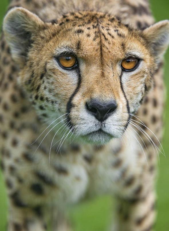 Cheetah Express