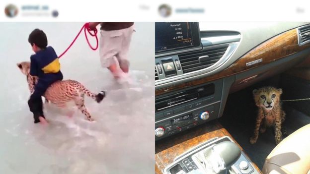Illegal Cheetah Pets