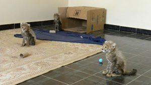 Rescued Cheetah Cubs