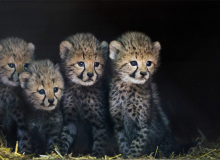 Cheetahs are being sought after as status-symbol pets in the Middle East, fuelling the illegal trade in smuggling cubs from the wild. Fewer than 10,000 cheetahs remain in the wild. Photograph: Piroschka Van De Wouw/EPA