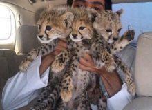 CCF Illegal Cheetah Pet Trade