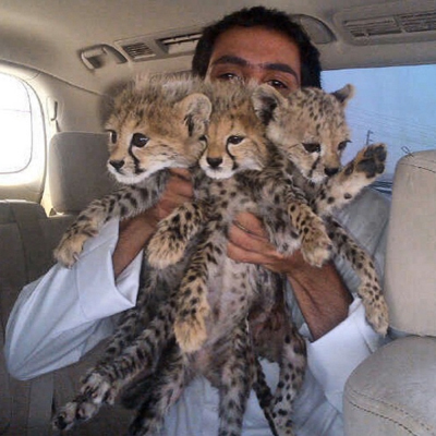 CCF Illegal Cheetah Pet Trade