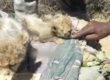 Cheetah cubs being sold in Somaliland