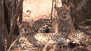 ITV: Illegal Cheetah Trade