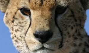 The fall in cheetah numbers has prompted calls for its status to be upgraded from 'vulnerable' to 'endangered'. Photograph: Sarah Durant/ZSL/PA