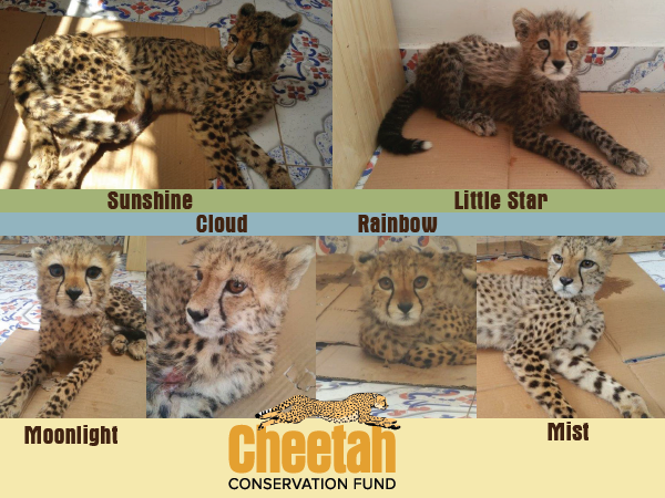Cheetahs Illegal Wildlife Trade