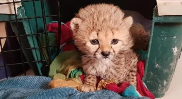 Cheetah Conservation Fund (CCF) UK