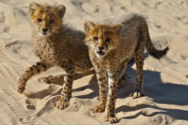 Cheetah Cubs Illegal Wildlife Trade