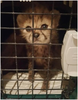 Illegal Cheetah Pet Trade