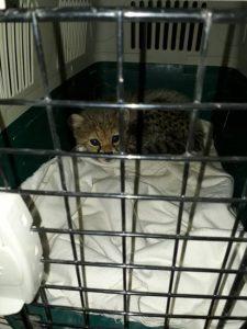 Cheetah Cub Trade