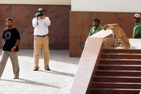 A cheetah at a mosque near Radisson SAS Hotel in Sharjah.