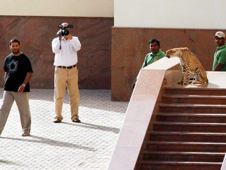 A cheetah at a mosque near Radisson SAS Hotel in Sharjah.