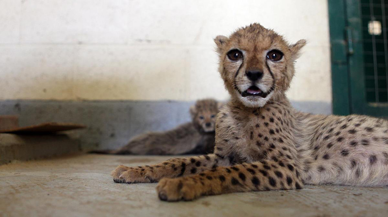 Illegal Wildlife Trade Cheetahs