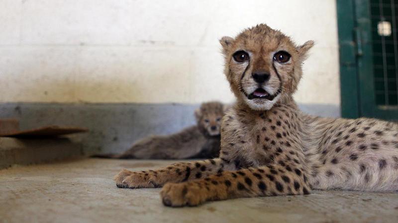 Illegal Wildlife Trade Cheetahs