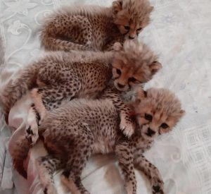 Illegal Wildlife Trade Three Cheetahs