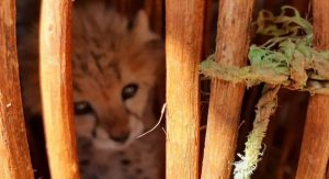 Cheetah cub locked up